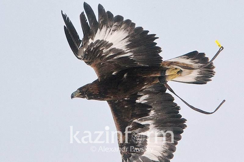 阿拉木图州野生猎鹰种群数量回升